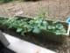 夏野菜が育ってきました!